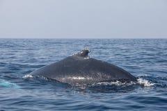 Надфюзеляжный киль кита Humpback Стоковая Фотография
