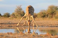 Небеса жирафа золото- голубые и африканец Солнце стоковые фотографии rf