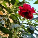 небесно-голубое цветка красное зеленое стоковые фото