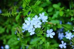 Небесно-голубые цветки Стоковое Фото