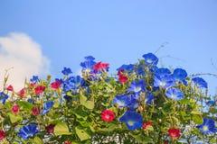 Небесно-голубая слава утра стоковое фото rf