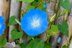 Небесно-голубой, слава утра, небесная синь стоковые фото