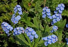 Небесно-голубые ветви; alpestris myosotis Стоковые Изображения