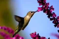 небесный hummingbird Стоковые Фотографии RF