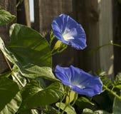 2 небесных голубых цветка славы утра Стоковое фото RF