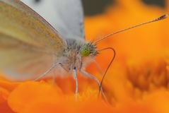 Небольшая белая бабочка на оранжевом цветке стоковая фотография rf
