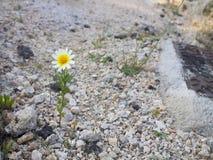 Небольшая белая маргаритка растет среди камней стоковые фотографии rf