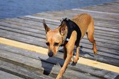 Небольшая грустная собака стоковая фотография