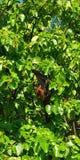 Небольшая лиса летая, Мальдивы стоковое фото rf