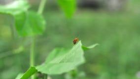 Небольшая оранжевая ошибка на зеленых лист в траве, конец вверх с handheld съемкой сток-видео