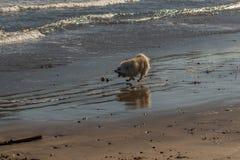 Небольшая собака в преследовании по пятам шарика стоковое фото rf