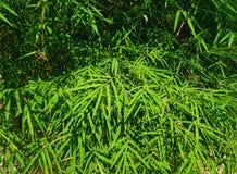 Небольшие бамбуковые листья под днем тени в полдень стоковые изображения rf