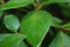 Небольшие волосатые лист Стоковая Фотография