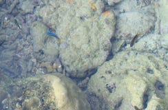 Небольшие голубые неоновые рыбы с кораллами и камнями - естественной предпосылкой Aqua морской флоры и фауны - прогулка коралла,  стоковая фотография rf