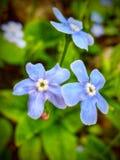 Небольшие голубые цветки стоковая фотография
