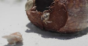Небольшие крабы в высушенном кокосе на пляже сток-видео