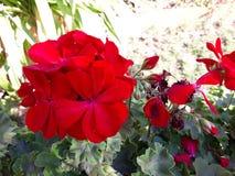 Небольшие красные цветки в городе Storkow в Германии, который нужно насладиться стоковое фото