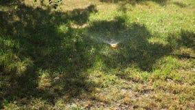Небольшие падения воды падения медленно на зеленую траву ( Оросительная система распыляет воду на лужайке зеленый сток-видео