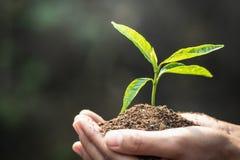 Небольшие саженцы которые растут в человеческих руках, деревья завода для уменьшения глобального потепления, консервации леса, дн стоковые фото