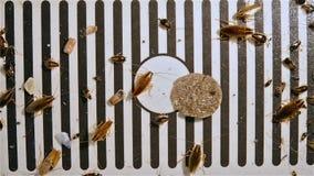 Небольшие тараканы борясь на крупном плане уловителя акции видеоматериалы