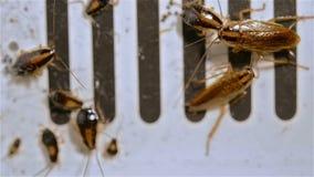 Небольшие тараканы борясь на крупном плане уловителя сток-видео