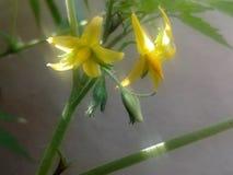 Небольшие цветки томата стоковые фото