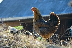 Небольшие цыплята идут с курицей матери в птице Отечественные птицы во дворе стоковое изображение rf
