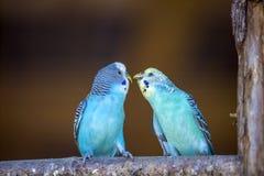 Небольшие яркие голубые птицы попугаев сидя на ветви дерева на запачканной предпосылке космоса экземпляра Держать концепцию любим стоковые изображения rf