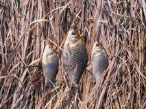 3 небольших crucians лежат на том основании на сухой траве стоковая фотография