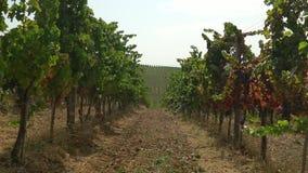 Небольшое движение камеры между строками на винограднике видеоматериал