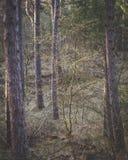 Небольшое дерево между большими соснами в темном лесе стоковое фото rf