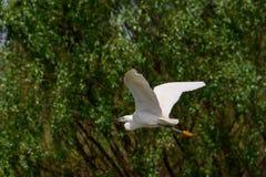 Небольшое летание Egret в перепаде Дунай, наблюдать птицы живой природы Румынии стоковые фото