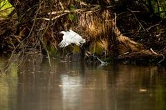 Небольшое летание Egret в перепаде Дунай, наблюдать птицы живой природы Румынии стоковая фотография rf