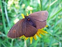 Небольшое epiphron Erebia ringlet бабочки или горы ringlet горы или Der Knochs Mohrenfalter Schmetterling стоковые изображения rf