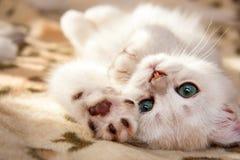 Небольшой белый великобританский котенок лежит вверх ногами стоковое изображение
