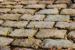 Небольшой зеленый росток делает свой путь через старую каменную мостовую независимо от того, какой стоковое изображение rf