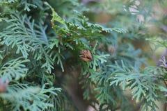 Небольшой коричневый конус дальше стоковая фотография