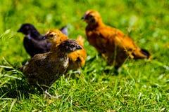 небольшой крупный план стороны курицы цыпленка младенца стоковое изображение