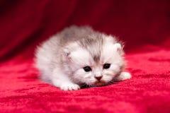 Небольшой пушистый сер-белый whiskered котенок стоковые фотографии rf
