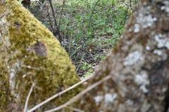 Небольшой сиротливый гриб между березами стоковые изображения rf