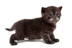 Небольшой черный закоптелый великобританский котенок стоит полностью высота изолированный на белой предпосылке стоковые изображения rf