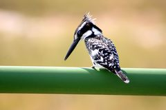 Небольшой kingfisher садить на насест на рельсе стоковые изображения rf