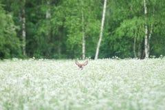 Небольшой peeking оленей стоковые фотографии rf