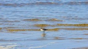 Небольшой shorebird wader бечевник меньшие срок или minuta Calidris на море, выборочный фокус, мелкий DOF стоковые фото