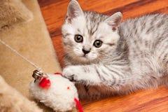 Небольшой striped серый белый великобританский котенок играя с игрушкой лежа на поле стоковое изображение