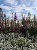 Небо Аляска Foxglove голубое Стоковое Изображение