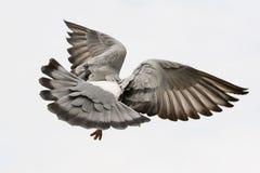 Небо белизны agains крыла пера птицы голубя летания Стоковая Фотография RF