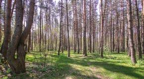 Небо волшебного яркого леса солнца весны красивое солнечное голубое Стоковые Изображения RF
