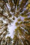 Небо волшебного яркого леса солнца весны красивое солнечное голубое Стоковая Фотография RF