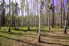 Небо волшебного яркого леса солнца весны красивое солнечное голубое Стоковое Изображение